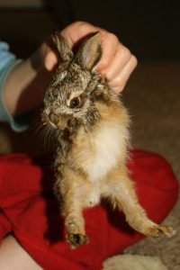 Wild Bunny: Lessons in Life & Death - IMG 6314 200x300 - Wild Bunny: Lessons in Life & Death