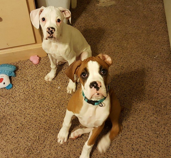 Saving My Fur Baby Boxer Puppies From Parvo - Both pups on 2 12 17 - Saving My Fur Baby Boxer Puppies From Parvo