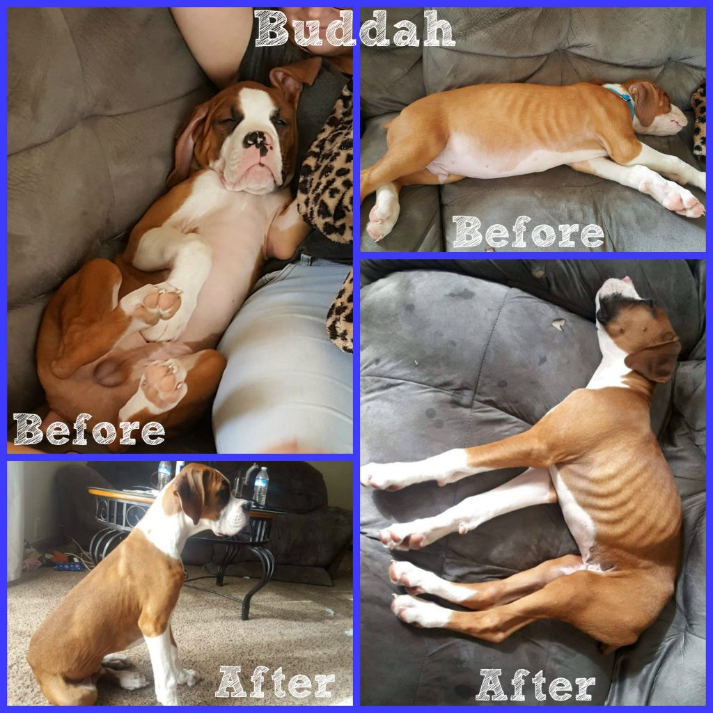 Saving My Fur Baby Boxer Puppies From Parvo - Buddah Collage blog 1024x1024 - Saving My Fur Baby Boxer Puppies From Parvo