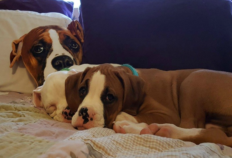 Saving My Fur Baby Boxer Puppies From Parvo - Fur babies on bed blog - Saving My Fur Baby Boxer Puppies From Parvo